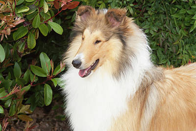 Purebred Rough Collie In Front Art Print