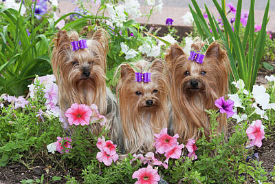 Purebred Yorkshire Terrier In Flowers Art Print by Piperanne Worcester