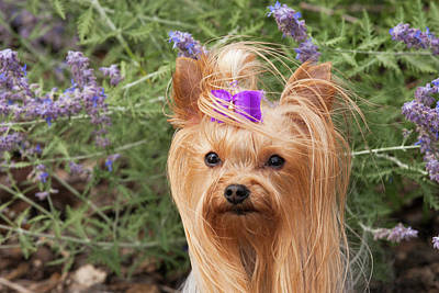 Purebred Yorkshire Terrier With Purple Art Print by Piperanne Worcester