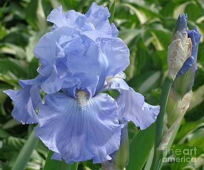 Purely Pretty Iris Art Print by Christina Verdgeline