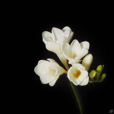 Art Print featuring the photograph Purity   A White On Black Floral Study by Lisa Knechtel