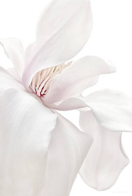 Purity White Magnolia Flower Blossom Art Print