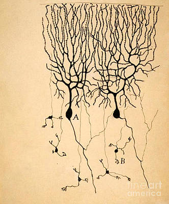 Nerve Cell Photograph - Purkinje Cells By Cajal 1899 by Science Source