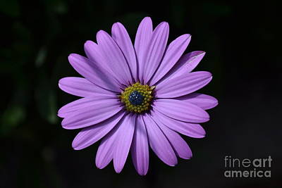 Purple African Daisy Art Print by Scott Lyons