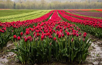 Agassiz Photograph - Purple Agassiz Tulips by James Wheeler