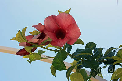 Photograph - Purple Allamanda Vine by Terri Mills