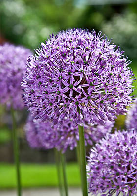 Photograph - Purple Allium Flowering Plant by Valerie Garner