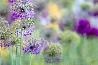 Purple Allium Print by Rebecca Cozart