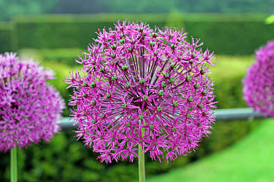 Photograph - Purple Allium by Tony Murtagh