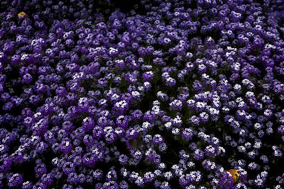 Digital Art - Purple Alyssums by Photographic Art by Russel Ray Photos