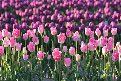 Photograph - Purple And Pink Tulips by Carol Groenen