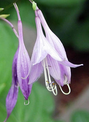 Photograph - Purple And White Fuchsia by Ron Roberts