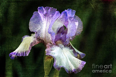 Photograph - Purple And White Iris by Tamara Becker