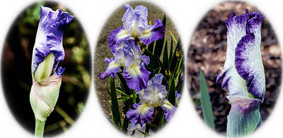 Digital Art - Purple And White Irises by Photographic Art by Russel Ray Photos