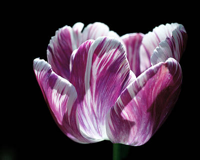 Fuchsia Photograph - Purple And White Marbled Tulip by Rona Black