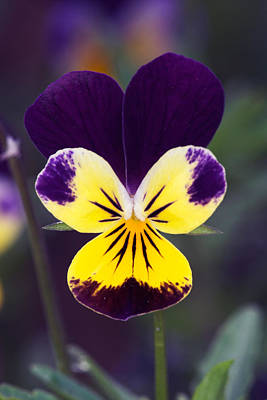 Purple And Yellow Johnny-jump-ups Print by RM Vera