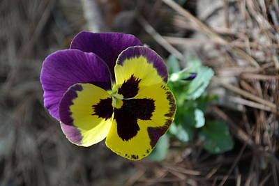 Art Print featuring the photograph Purple And Yellow Pansy by Tara Potts