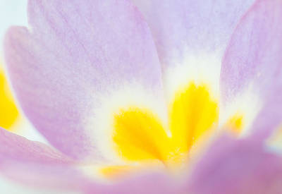 Photograph - Purple And Yellow Primrose Petals - Bright And Soft Spring Flower by Matthias Hauser