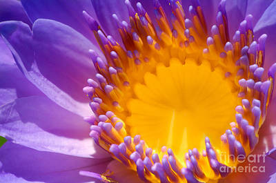 Purple And Yellow Water Lily Close Up Art Print