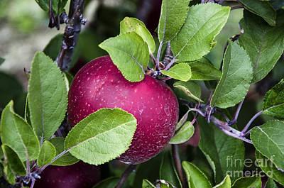 Photograph - Purple Apple by Paul Mashburn