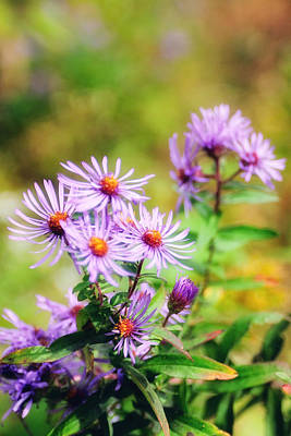 Photograph - Purple Aster by John Kiss