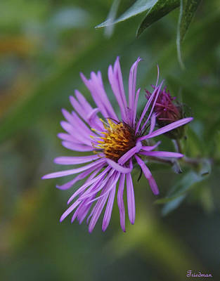 Photograph - Purple Aster by Michael Friedman