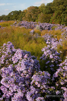 Photograph - Purple Asters by Chris Scroggins