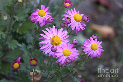 Photograph - Purple Asters by Lena Auxier