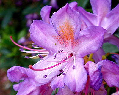 Petal Photograph - Purple Azalea by Rona Black