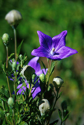 Balloon Flower Photograph - Purple Balloon Flower by Anonymous