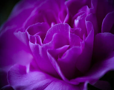 Photograph - Purple Beauty by Ron Roberts