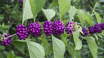 Photograph - Purple Beautyberry Branch by MM Anderson