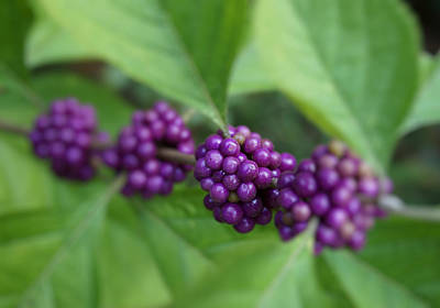 Photograph - Purple Beautyberry by MM Anderson