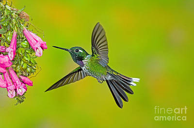 Photograph - Purple-bibbed Whitetip Hummingbird by Anthony Mercieca