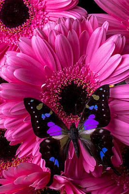 Gerbera Daisy Photograph - Purple Black Butterfly by Garry Gay
