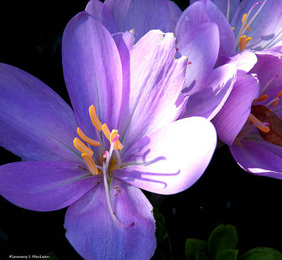 Photograph - Purple Blooms by Kimmary MacLean