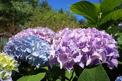Photograph - Purple Blue Hydrangea Flowers Art Prints by Baslee Troutman