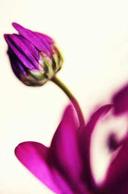 Floral Composition Photograph - Purple Bud by Jenny Rainbow