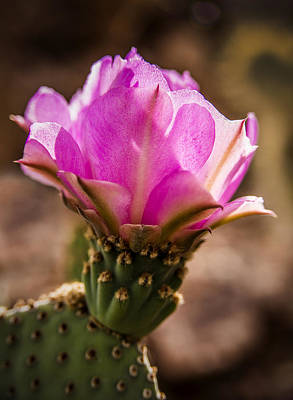 Photograph - Purple Cactus Flower by  Onyonet  Photo Studios