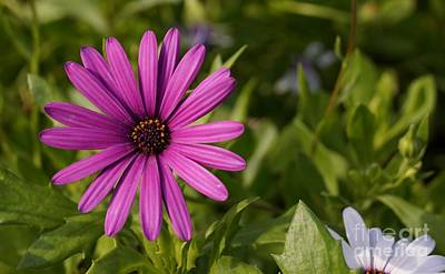 Photograph - Purple Cape Daisy by Kerri Mortenson