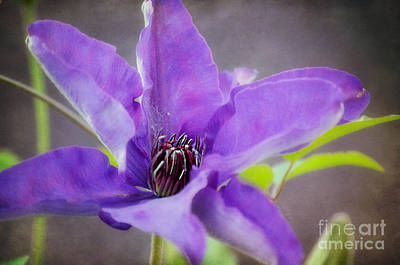 Photograph - Purple Clematis Close Up by Peggy Franz
