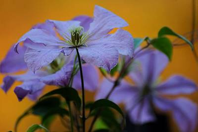 Photograph - Purple Clematis Evening by Beth Akerman