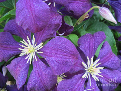 Photograph - Purple Clematis Jackmanii Close Up 1 by Conni Schaftenaar