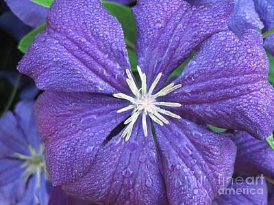 Purple Flowers Photograph - Purple Clematis Jackmanii Close Up 2 by Conni Schaftenaar