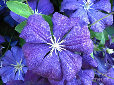 Photograph - Purple Clematis Jackmanii Close Up 3 by Conni Schaftenaar