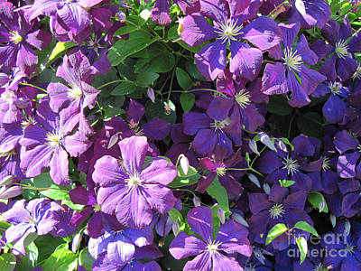 Photograph - Purple Clematis Jackmanii by Conni Schaftenaar