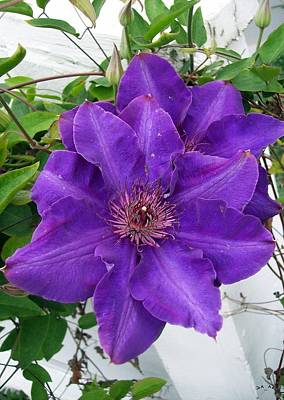 Purple Clematis Art Print
