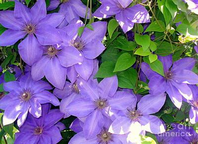 Photograph - Purple Clematis by Rachel Munoz Striggow