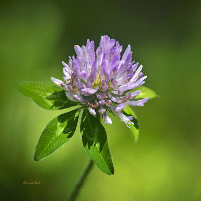 Photograph - Purple Clover Flower Square by Christina Rollo