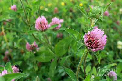 Renewing Photograph - Purple Clover Wild Flower In Midwest United States Meadow by Adam Long